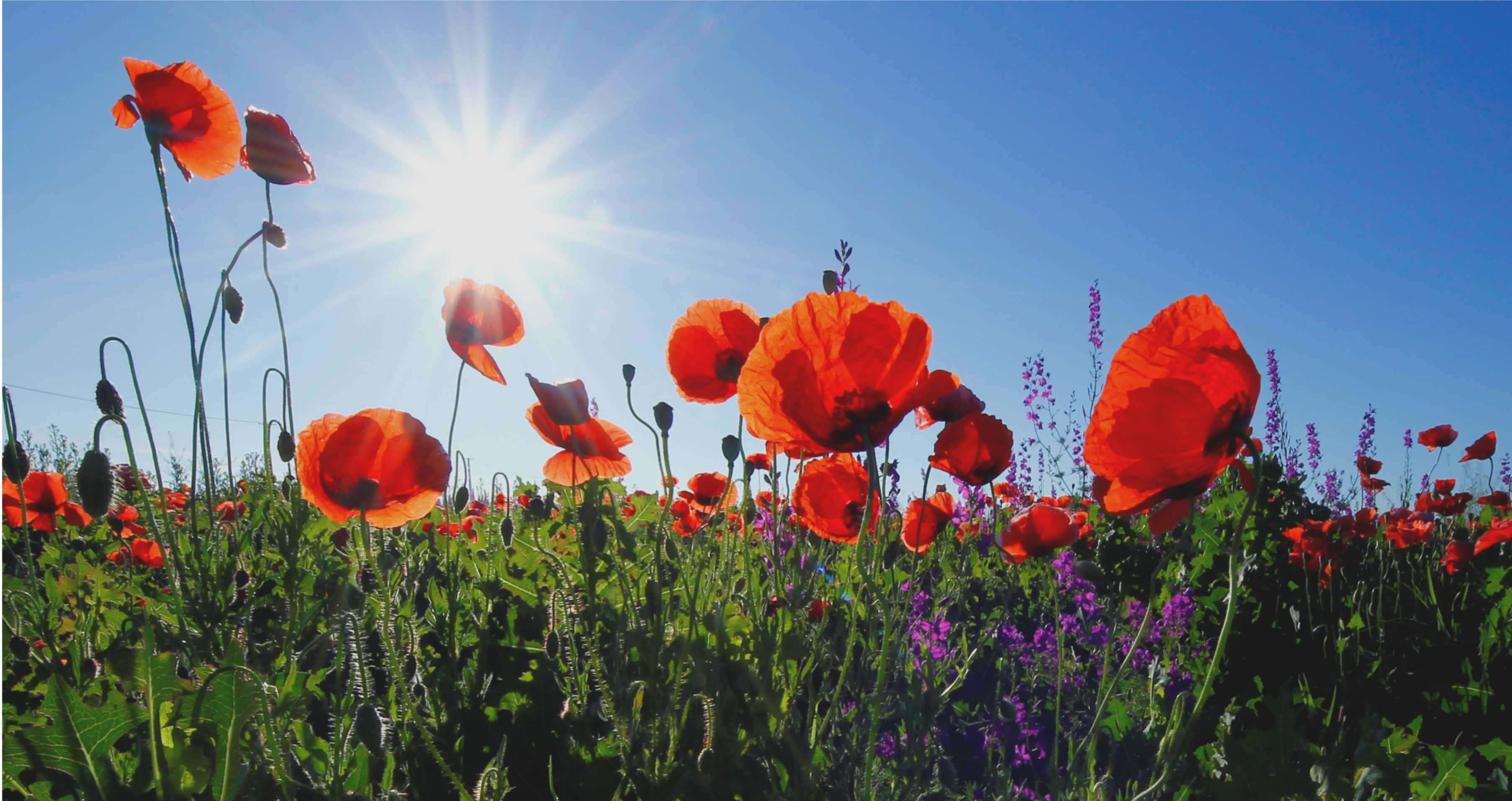 Blooming Poppy Trade | The Patrick Henry College Intelligencer
